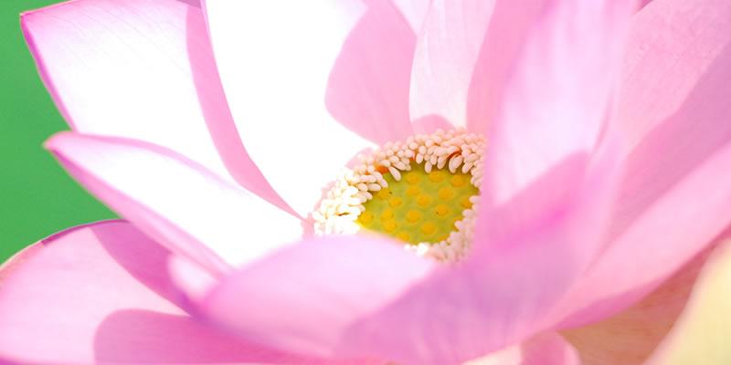 スライド写真 レンコンの花